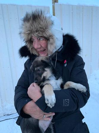 Alaskahusky ein zukünftiger Schlittenhund aus einer Zucht in Kirkenes.