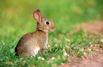 Junges Kaninchen (Foto: Erhard Nerger)