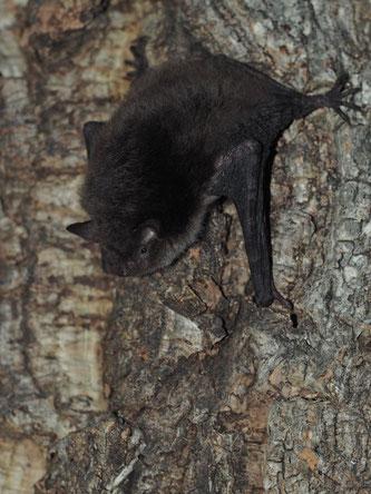 In Baumhöhlen lebende Tiere werden leider oft übersehen, in den meisten Fällen wird vor Baumfällungen nicht einmal nach ihnen gesucht. Foto: Michael Kulick