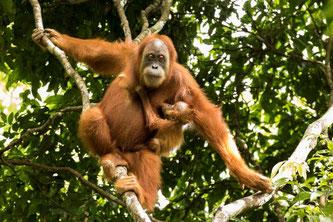Orang-Utan-Mutter mit Kind. Foto: Sumatran Orangutan Conservation Programme
