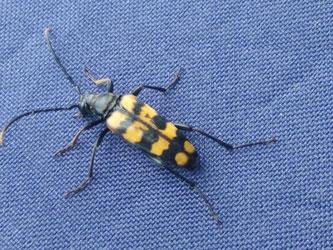 Ein Vierbindiger Schmalbock kam als Botschfter der örtlichen Biodiversität an den NABU-Infostand.