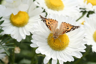Distelfalter im Garten. Foto: NABU/Helge May