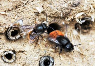 Die Gehörnte Mauerbiene bei der Paarung. Das Männchen ist etwas kleiner als das Weibchen. Foto:  Klaus Duehr/naturgucker.de