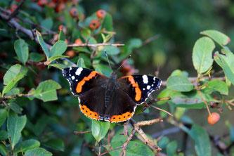 Der Admiral wurde beim Insektensommer 2019 im Vergleich zum Vorjahr deutlich häufiger gesehen. Foto: Ina Ebert