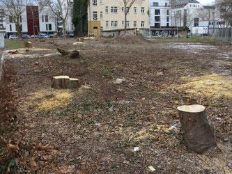 Bei der Grünflächengestaltung oder bei Baumaßnahmen werden Bäume oft aus Bequemlichkeit gefällt, ohne zu prüfen, ob man das vermeiden kann und ohne Ersatz. Foto: Karsten Peterlein