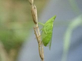 Der Europäische Laternenträger ist eine wärmeliebende Zikade, die im Lebensraum offene Bodenstellen für die Eiablage benötigt. Durch die spezielle Kopfform ist sie mit keiner anderen heimischen Zikade zu verwechseln. Foto: Beatrice Jeschke