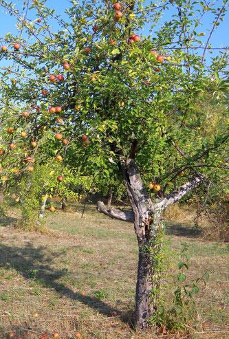 Ein Halbstamm auf einer Streuobstwiese - beste Voraussetzungen für Leben im Obstbaum. Foto: Ina Ebert