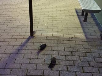 Zwei tödlich verunglückte Amseln an einer Bushaltestelle. Foto: NABU Leipzig