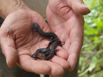 Der Kammmolch ist eine streng geschützte Art. Die Papitzer Lachen dienen als Fortpflanzungsgewässer, was im Rahmen eines Molchmonitorings beobachtet wird. Symbolfoto: NABU/Naturtäter