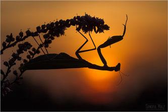 Die Gottesanbeterin fühlt sich auf sonnigen, trockenen, warmen Flächen mit lockerer Vegetation wohl. Männchen werden etwa 6, Weibchen mehr als 7 Zentimeter groß. Foto: Sandra Malz/ naturgucker.de