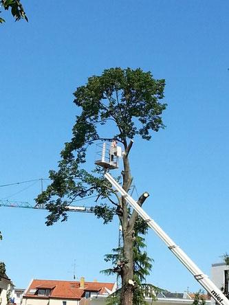 Baumfällungen oder Rückschnitt mitten in der Brutzeit. Ob hier Vögel oder Fledermäuse zuhause sind, wird meist nicht untersucht. Foto: NABU Leipzig