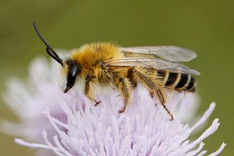 Braunbürstige Hosenbiene (Männchen). Foto: Armin Teichmann/naturgucker.de