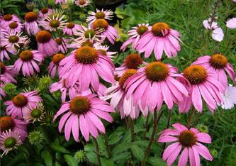 Echinaforce ist ein homöopathisches, pflanzliches Arzneimittel. Dieses Produkt enthält Extrakte aus Echinacea Purpurea (Sonnenhut), eine Pflanze aus Nordamerika, die für seine immunstärkenden Eigenschaften bekannt ist.