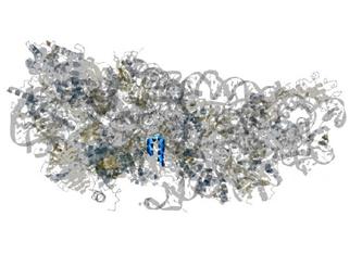 Struktur des SARS-CoV-2-Proteins NSP1 (blau) im Komplex mit einem Wirts-Ribosom (grau). NSP1 blockiert das Ablesen von Wirts-mRNA in vom Virus befallenen Zellen. Seán O'Donoghue Garvan Institute of Medical Informatics