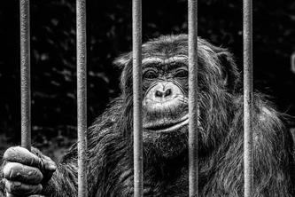 Symbolbild - Affe im Käfig (Bildquelle: NilsFrieseler auf Pixabay)