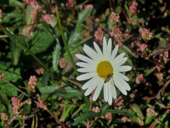 Herbst, Margritte, Wildbiene