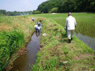 鈴身川のマコモ刈り
