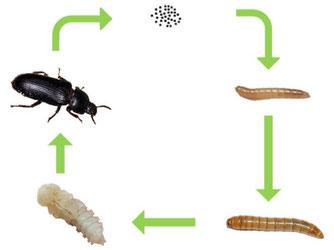 Entwicklung Mehlwürmer