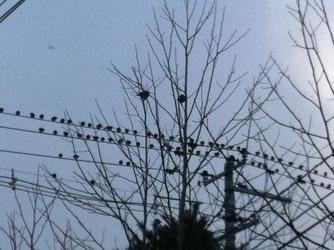 スズメじゃないんです。スズメの4倍はありますね。我が家の隣りの児童公園の電線にびっしり停まっているではありませんか!!大群で移動しているようです。昨日も見ました。