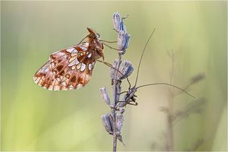 Edelfalter, Nymphalidae