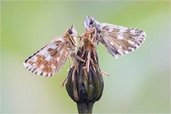Dickkopffalter, Hesperiidae