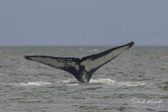 Juneau, Alaska, Whale, Wale, USA,  www.danielkneubuehl.com, Photographer/Fotograf: Daniel Kneubühl