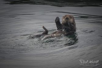 Sitka, Sea Otter, Seeotter, Baer, Bär, USA, Alaska,  www.danielkneubuehl.com, Photographer/Fotograf: Daniel Kneubühl