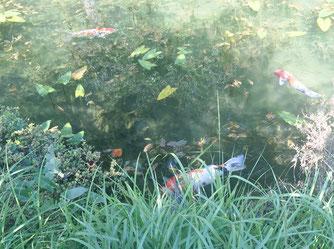 洞戸の「モネの池」