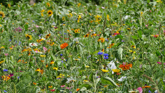 Blühfläche als Insektenweide
