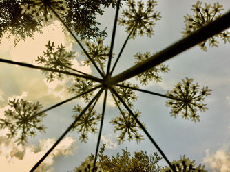Pflanzenbild sternförmig, in alle Himmelsrichtungen.
