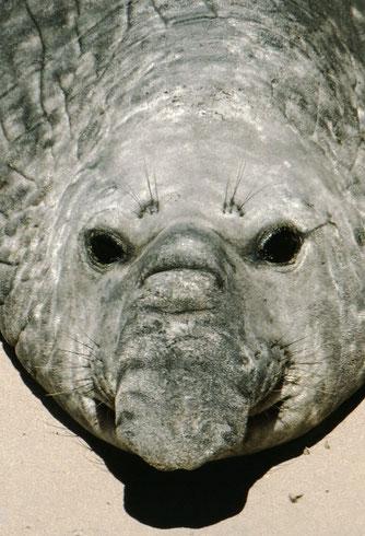 A bull southern elephant seal; Valdez Peninsula, Argentina.
