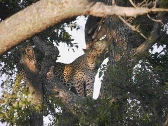"Kruger National Park: Der Leopard im Baum, einer der ""big five"""