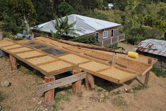 Jamaica Farm Kaffeetrocknung