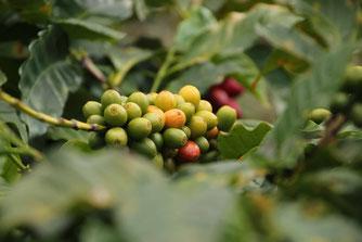 Jamaica Farm Kaffeestrauch
