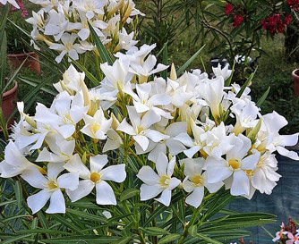OLEANDER HAUS  Nerium Oleander  Érdi Vajsárga