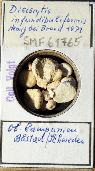 Bild 1 Bryozoa aus Sammlung Senckenberg Frankfurt