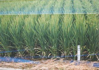 福島県農業試験場で育成中の「ふくみらい」