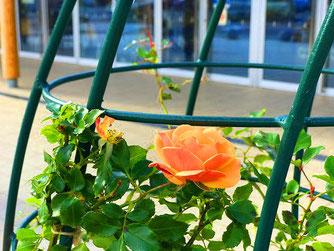 ゲートトピアリーのバラ「ハニーキャラメル」