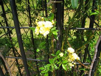 屋久島で開花したモッコウバラ