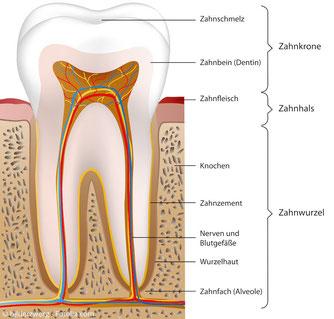 """Anatomischer Aufbau eines Zahnes mit der sog. """"Pulpa"""" im Inneren"""