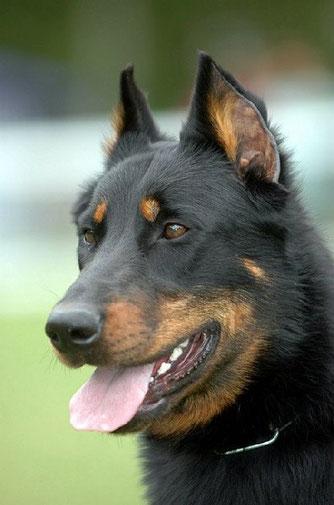 l'Arche-d-rury-éducation-canine-77, pension-pour-chien-77, élevage-de-chien-de-race-beauceron