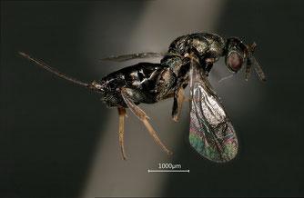 Unbestimmte Wespe der Familie Torymidae