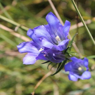 Blüte des Lungenenzian - Foto: NABU/C. Balthasar