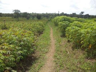 Parte della piantagione a metà giugno 2014