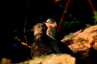 Die Turteltaube ist Vogel des Jahres 2020, Copiright: NABU/R. Thierfelder