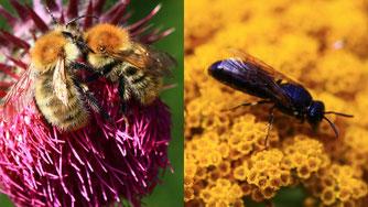 Foto: Sabine Holmgeirsson, Ackerhummeln, schwarze Maskenbiene