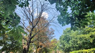 Abgestorbene Kastanien sind keine Seltenheit mehr (01.08.2020)