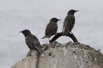 Der Star, Vogel des Jahres 2018, Foto: NABU Carolin Zimmermann