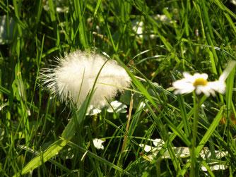 Weiße Feder im Sonnenschein im Gras neben einem Gänseblümchen