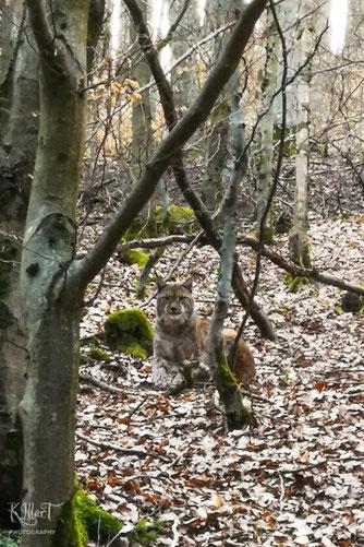 Luchssichtung am 30. März 2019 im Thüringer Wald. Bildautor: Kai Illert
